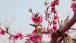 人间四月芳菲尽,桃花朵朵映中联!